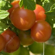 Tomatoes - Visit Londonderry