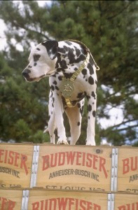 Dalmatian on top of historic wood Budweiser Case with Clydesdale team