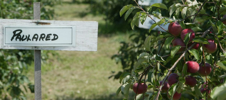Pualared sign, next to a tree with ripe Paulared early apples in Londonderry, New Hampshire